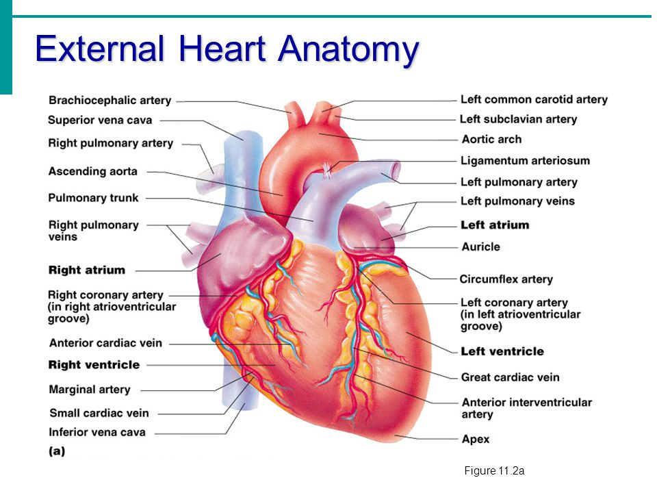 chapter 11 the cardiovascular system ppt video online