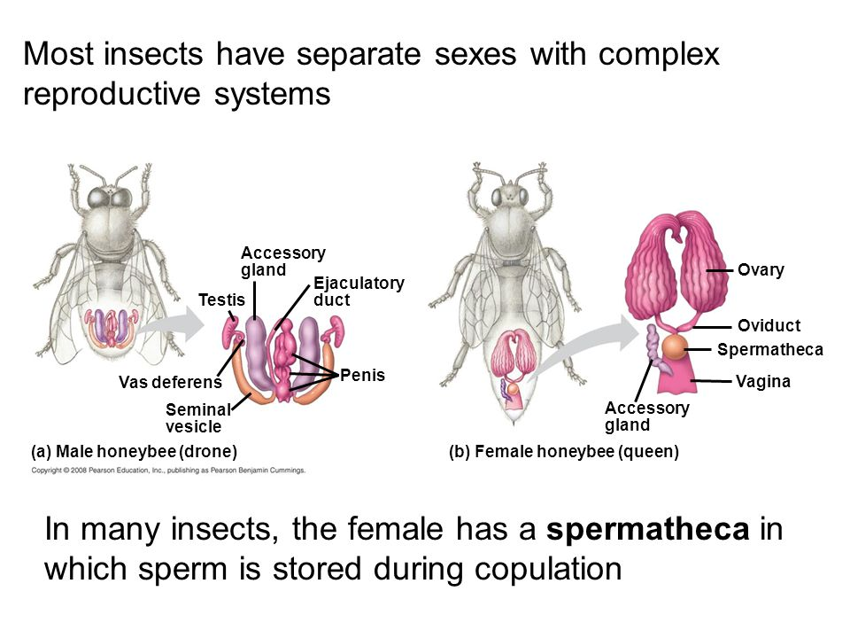 Ch 46 reproduction sexual reproduction results in genetic most insects have separate sexes with complex reproductive systems ccuart Image collections