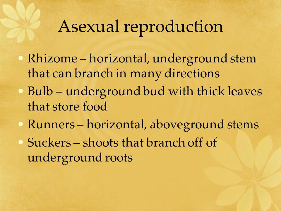 Asexual reproduction Rhizome – horizontal, underground stem that can branch in many directions.