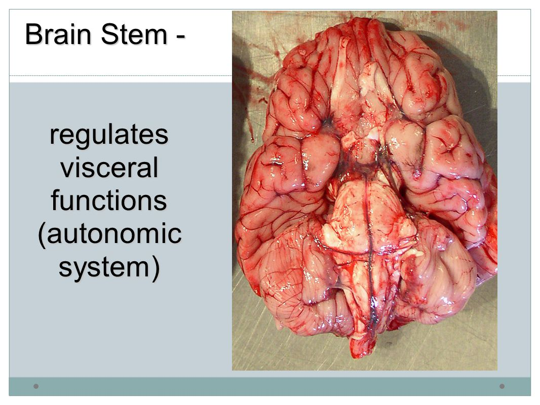 Brain Stem - regulates visceral functions (autonomic system)