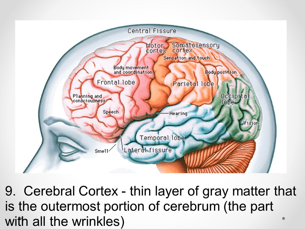 9. Cerebral Cortex - thin layer of gray matter that is the outermost portion of cerebrum (the part with all the wrinkles)