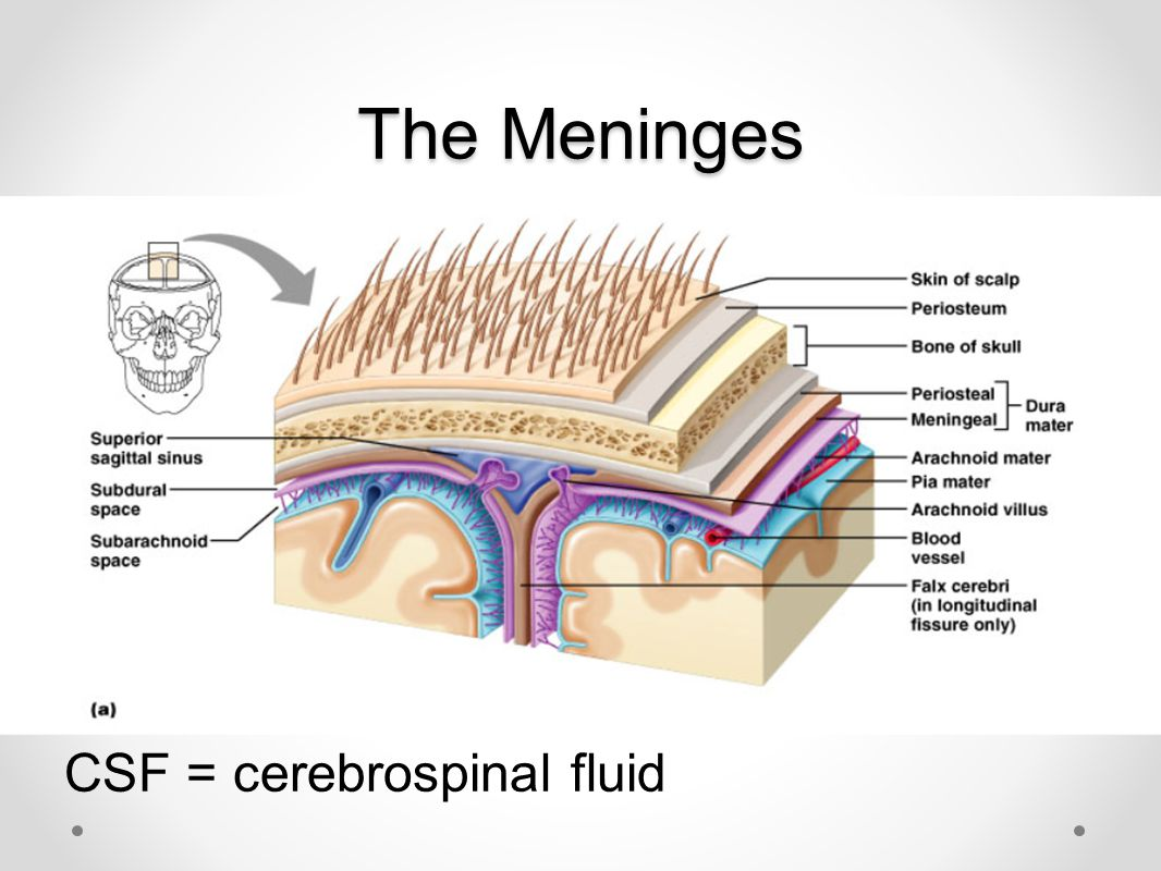 The Meninges CSF = cerebrospinal fluid