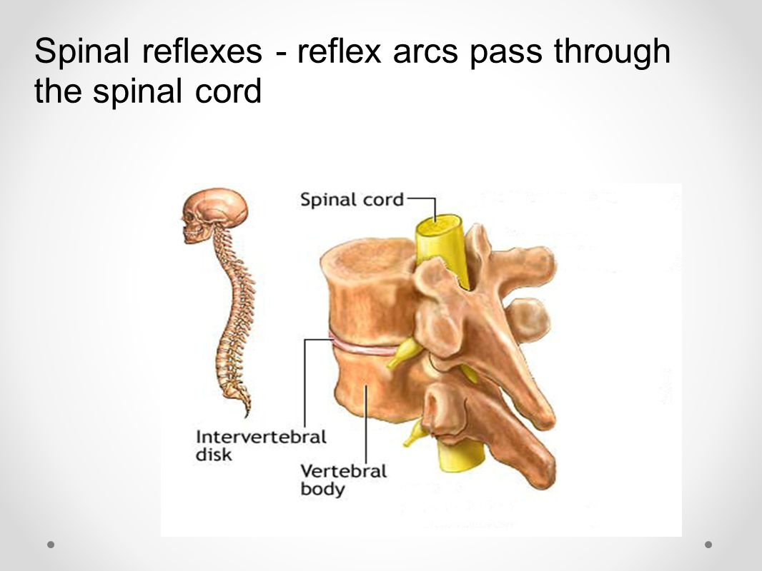 Spinal reflexes - reflex arcs pass through the spinal cord