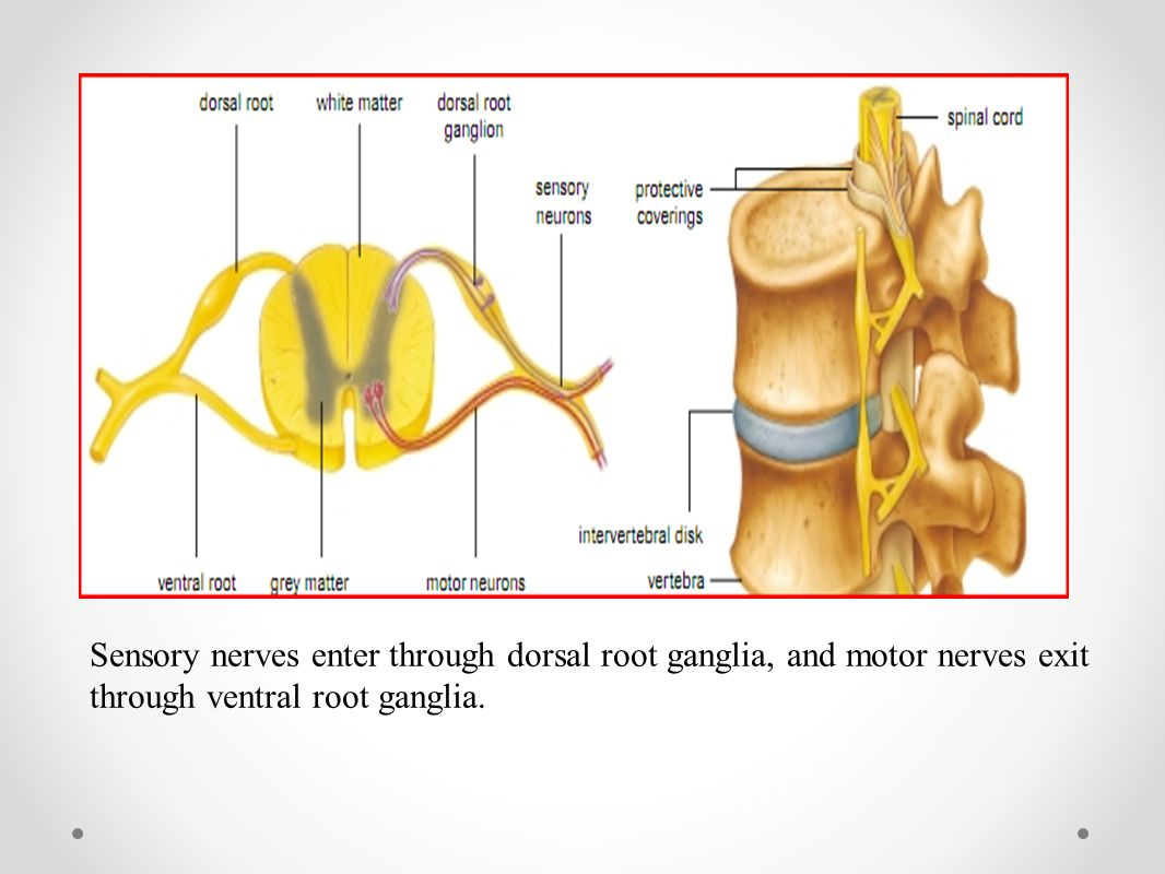 Sensory nerves enter through dorsal root ganglia, and motor nerves exit through ventral root ganglia.