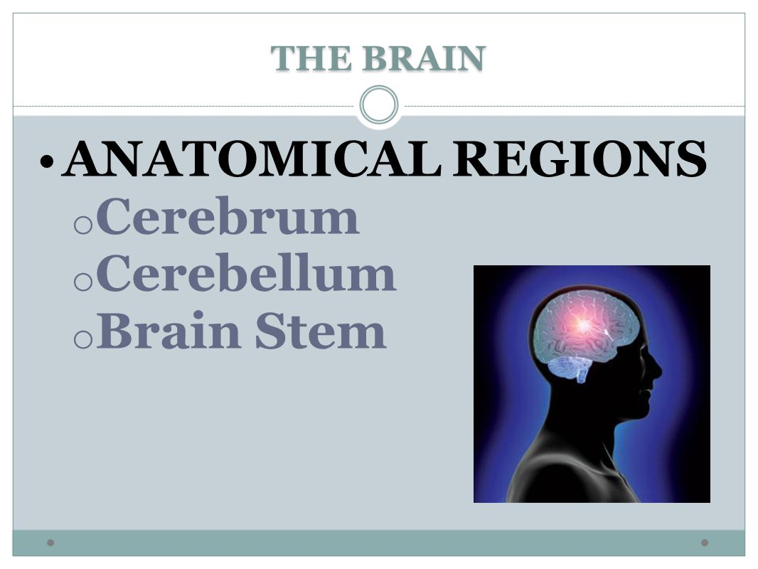 THE BRAIN ANATOMICAL REGIONS Cerebrum Cerebellum Brain Stem