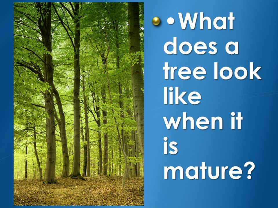 •What does a tree look like when it is mature
