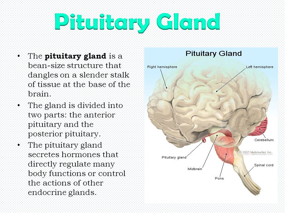 structure of pituitary gland pdf