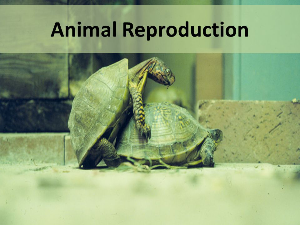 Animal Reproduction. - ppt video online download