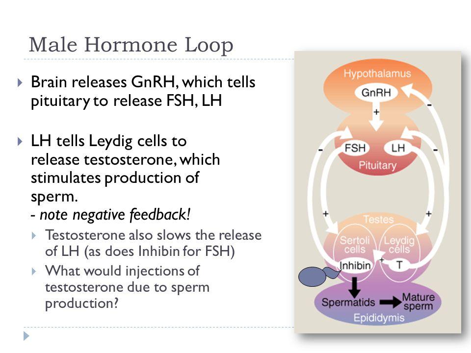 Gnrh Feedback Loop: Male Reproductive Anatomy Of Cattle