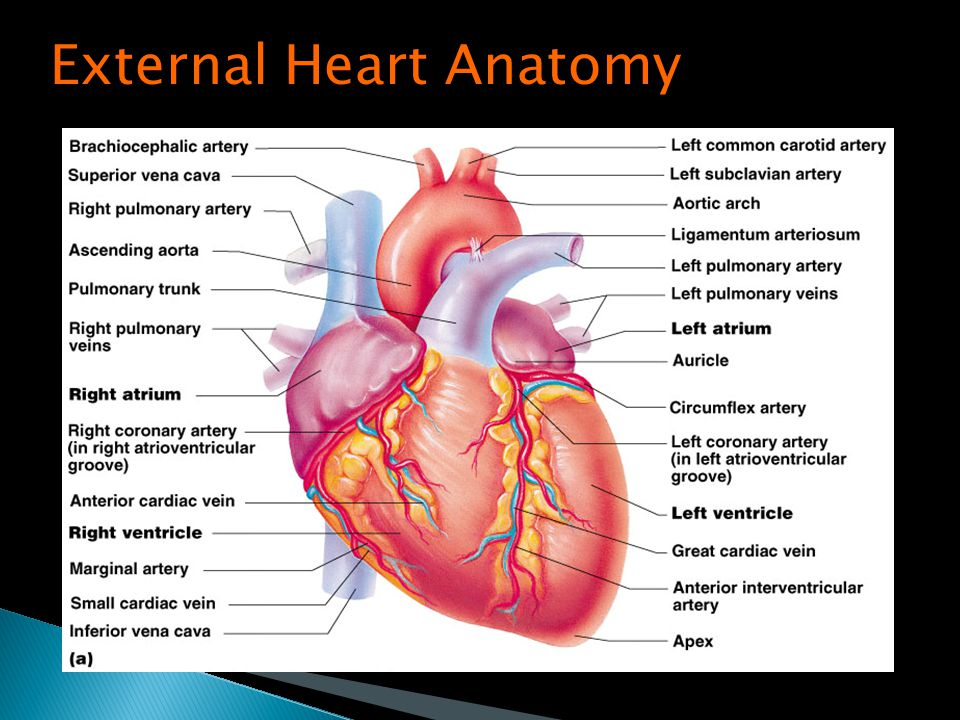 Anatomy Of Cardiovascular System Ppt Choice Image - human body anatomy