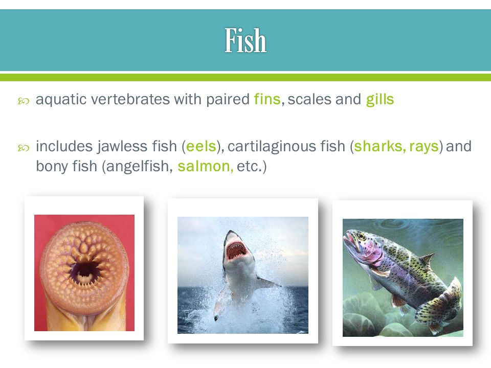 Phylum chordata unit ppt video online download for List of fish with fins and scales