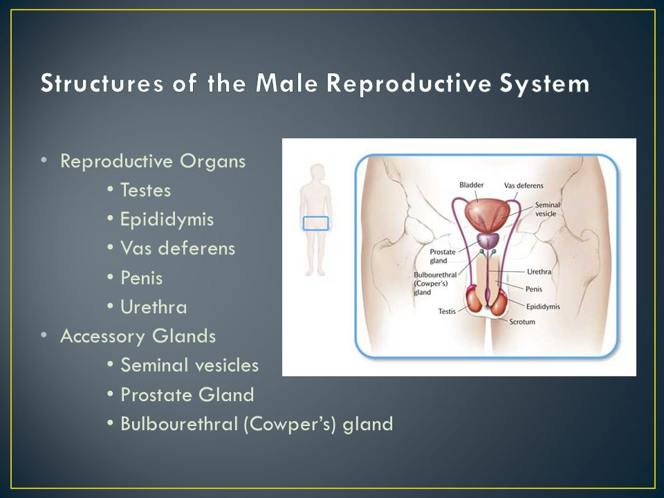 Structures of the Male Reproductive System