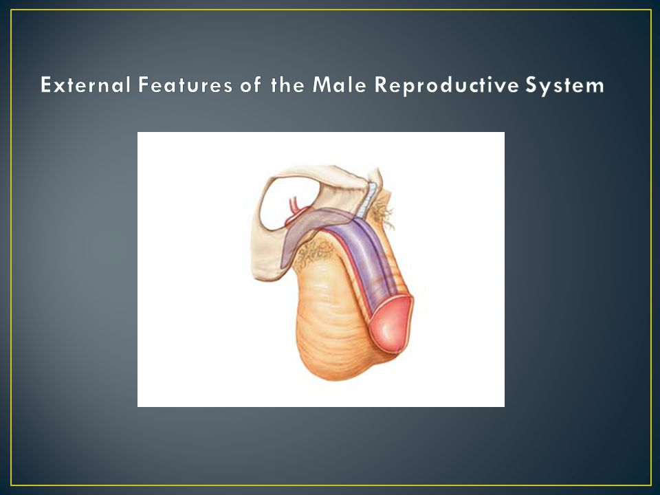 External Features of the Male Reproductive System