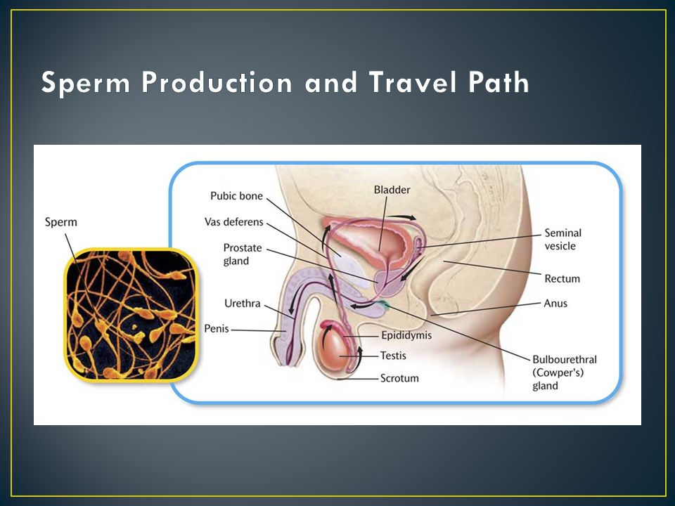 Sperm Production and Travel Path