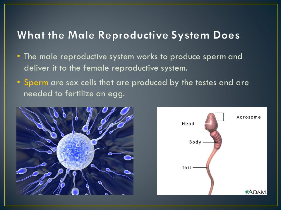 What the Male Reproductive System Does