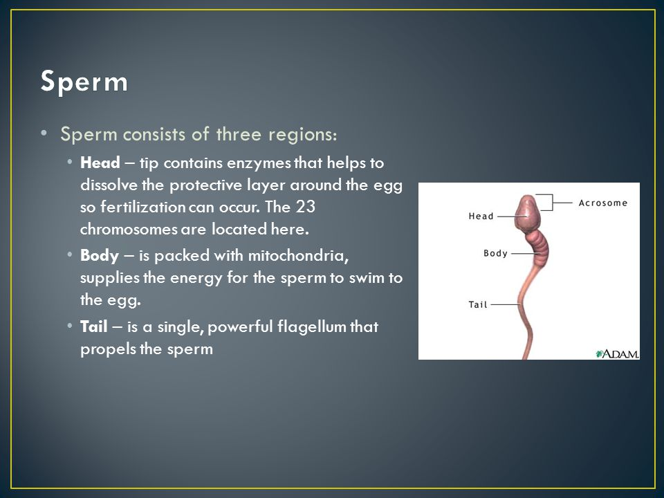 Sperm Sperm consists of three regions: