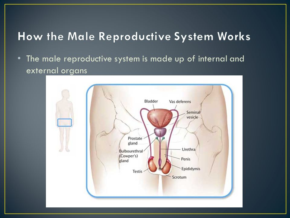 How the Male Reproductive System Works