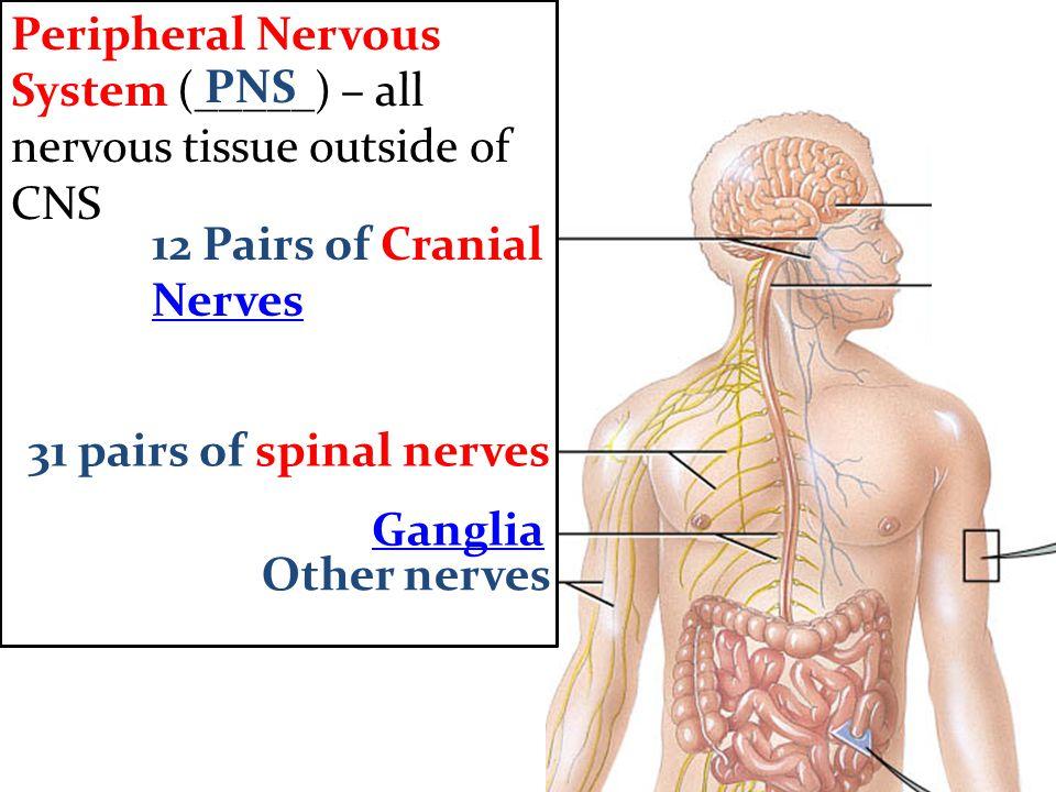Exelent Anatomy Of Peripheral Nerves Vignette Human Anatomy Images