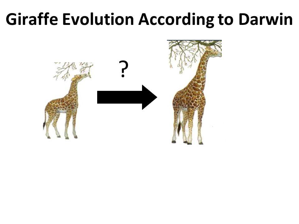 giraffe evolution Free term papers & essays - evolution of giraffe neck, science.