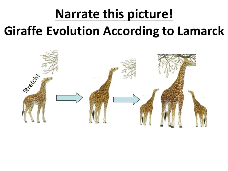 Evolution Of Giraffes | www.pixshark.com - Images ...