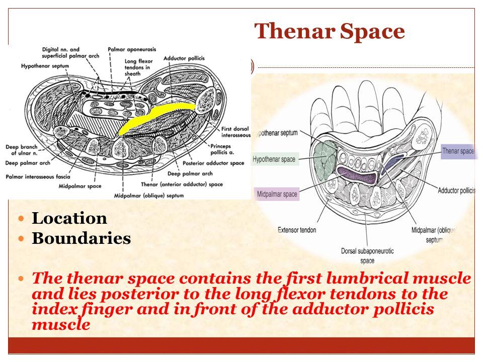 Palmar spaces of hand anatomy