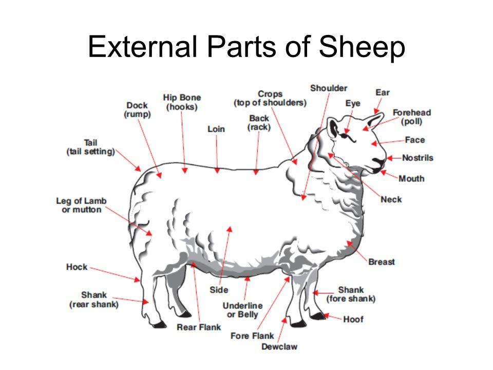 External Anatomy Of Sheep Images Human Body Anatomy
