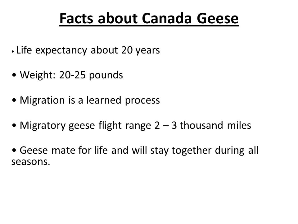 Facts about Canada Geese