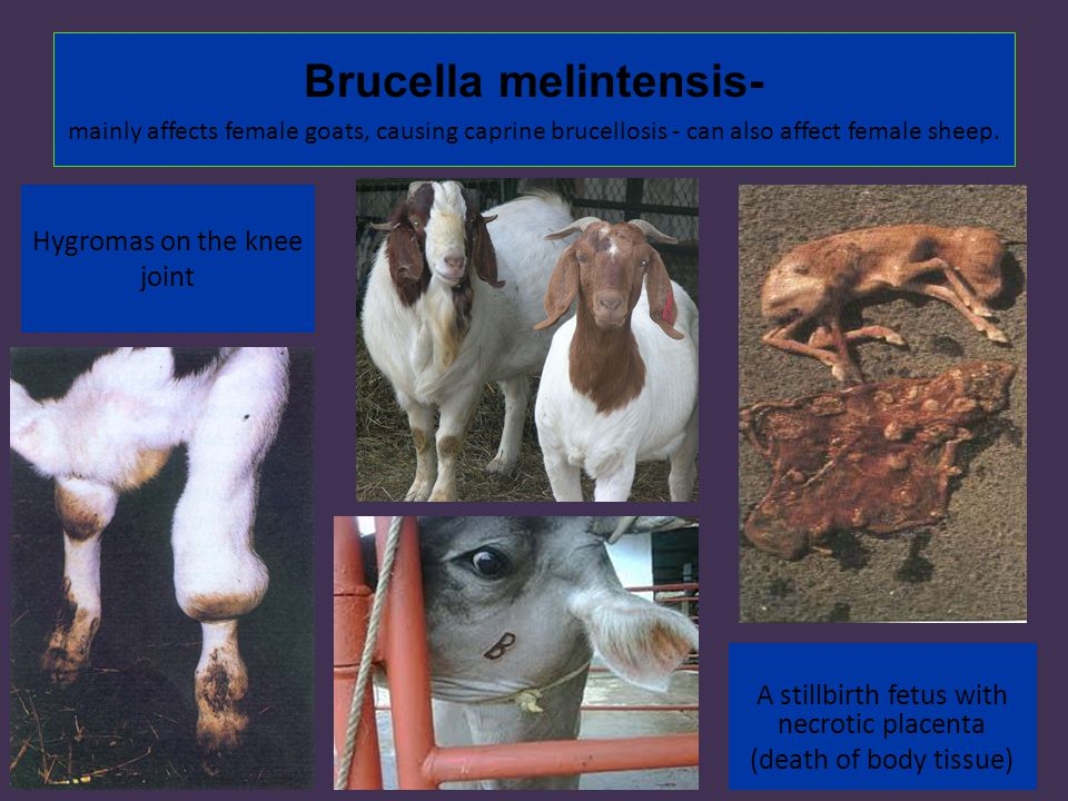 Similiar Brucella Suis In Cattle Keywords Brucellosis In Cattle