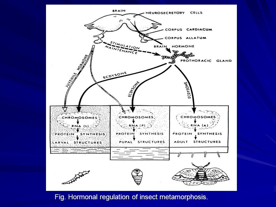 ecdysteroid function