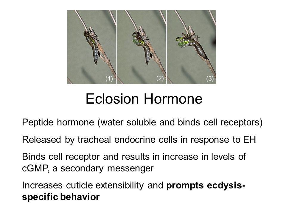 Eclosion Hormone Peptide hormone (water soluble and binds cell receptors) Released by tracheal endocrine cells in response to EH.