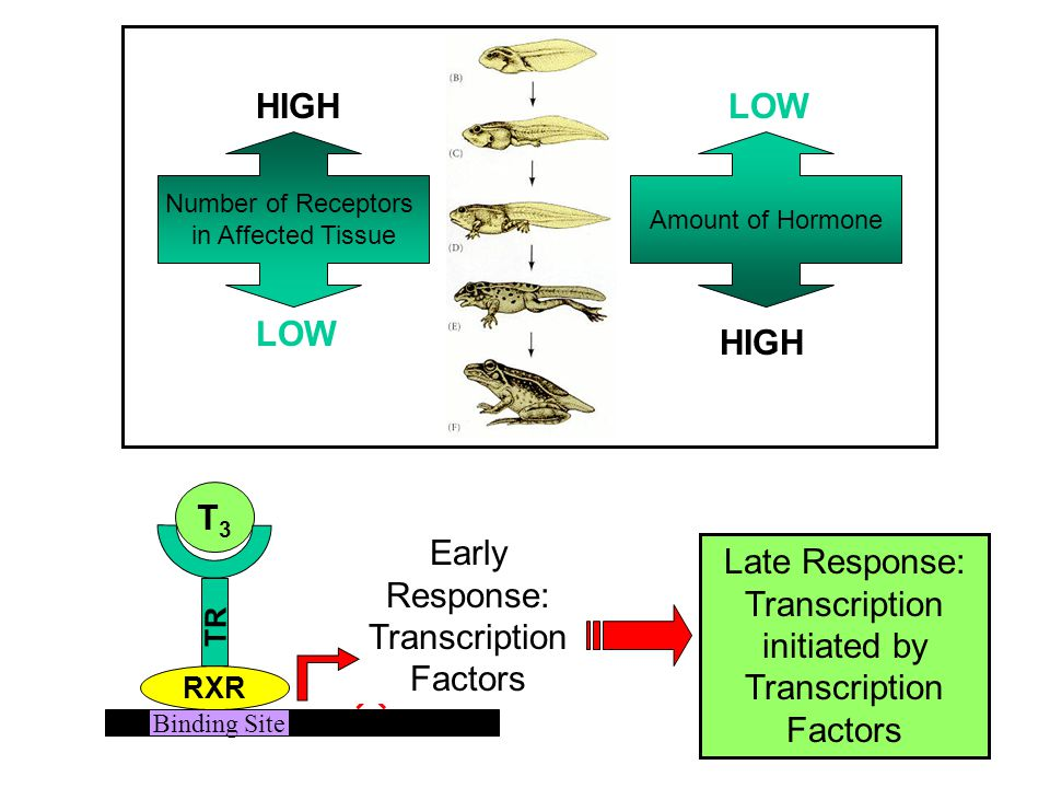 HIGH LOW LOW HIGH T3 Early Response: Transcription Factors