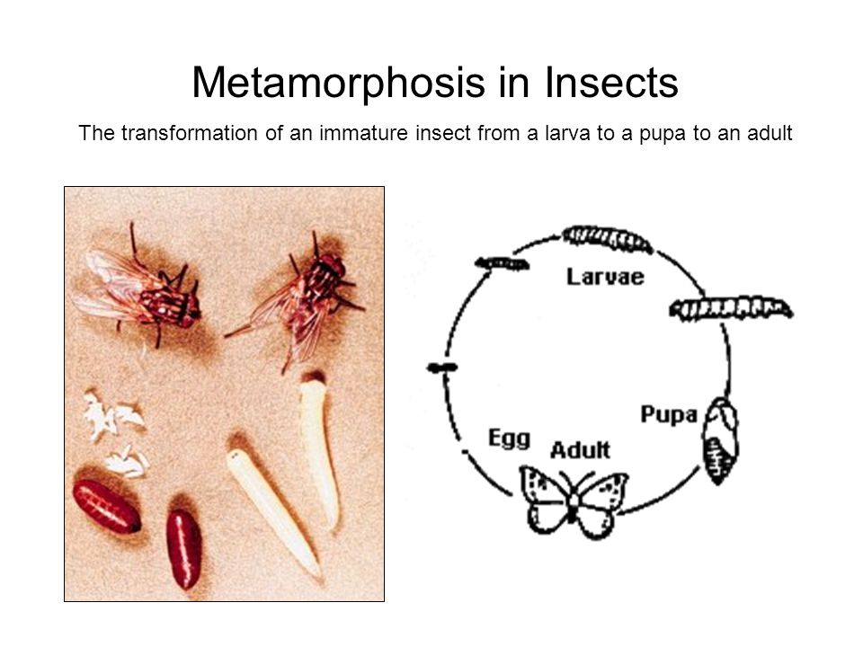 Metamorphosis in Insects