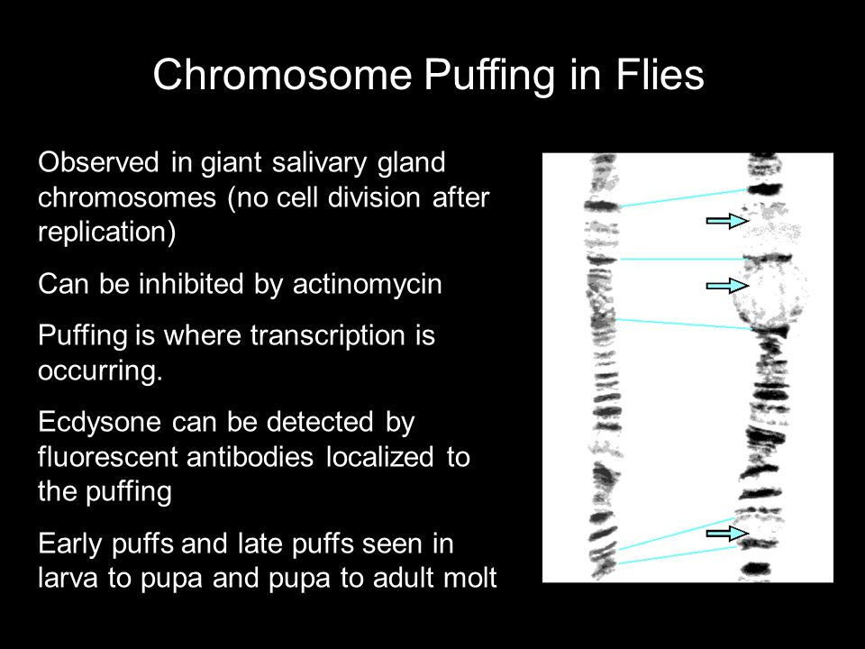 Chromosome Puffing in Flies