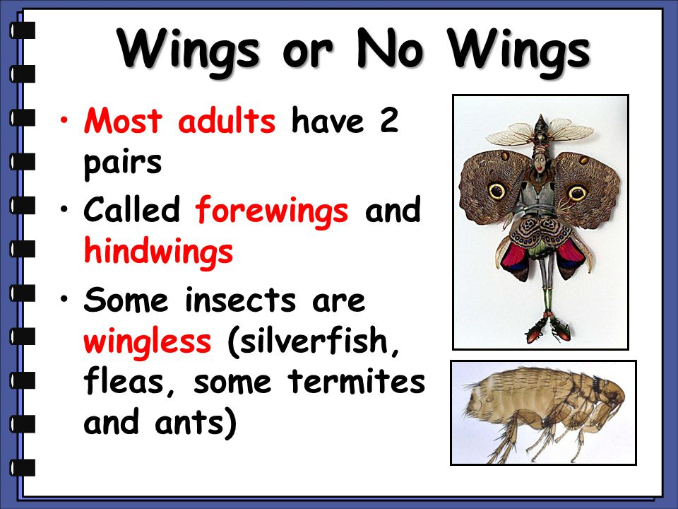 Wings or No Wings Most adults have 2 pairs
