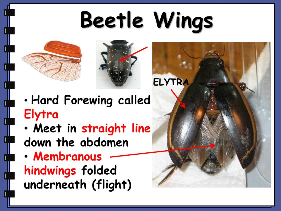 Beetle Wings Meet in straight line down the abdomen