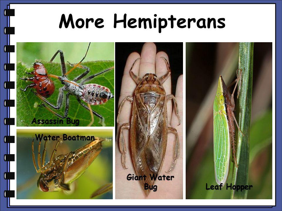 More Hemipterans Assassin Bug Water Boatman Giant Water Bug