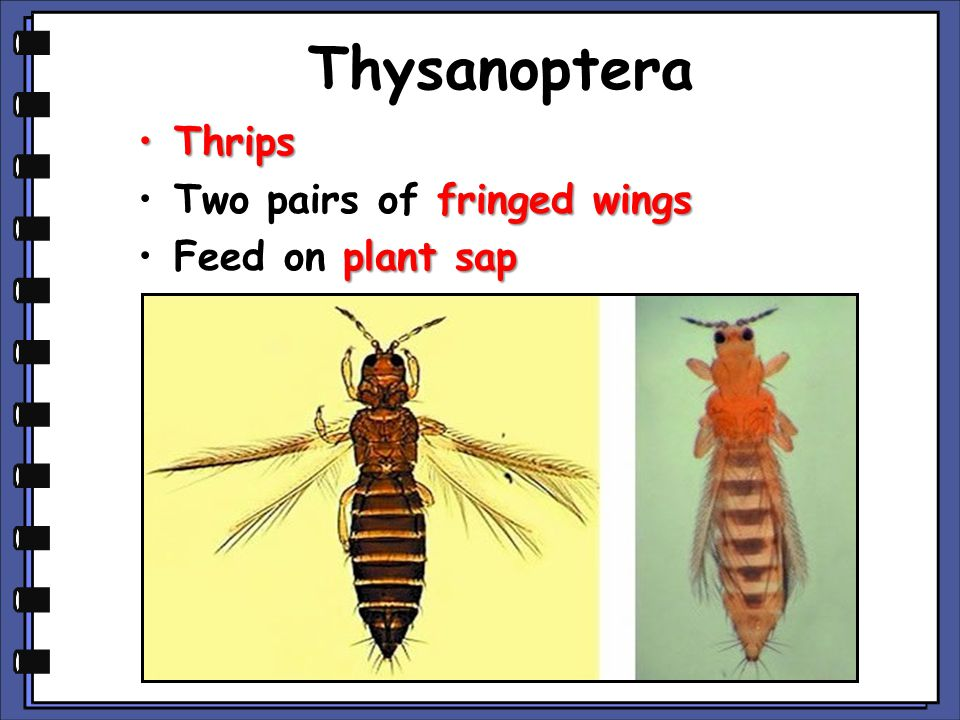Thysanoptera Thrips Two pairs of fringed wings Feed on plant sap