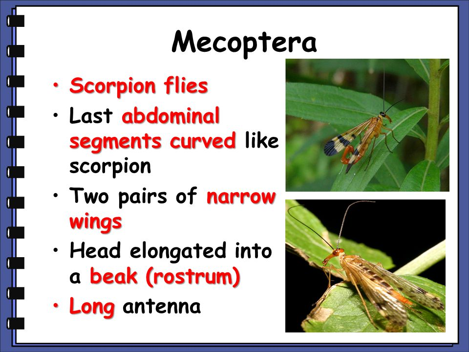 Mecoptera Scorpion flies Last abdominal segments curved like scorpion