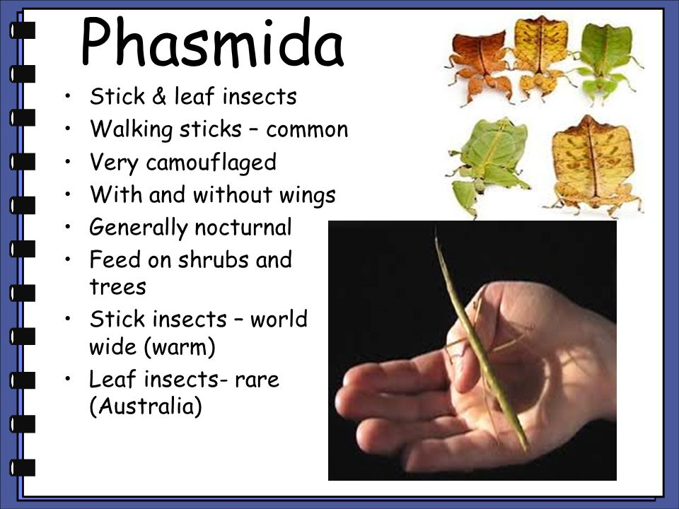 Phasmida Stick & leaf insects Walking sticks – common Very camouflaged