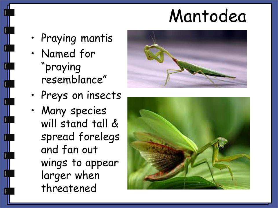 Mantodea Praying mantis Named for praying resemblance