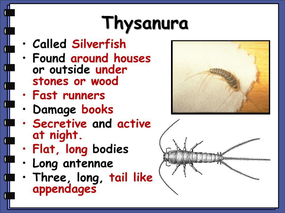 Thysanura Called Silverfish