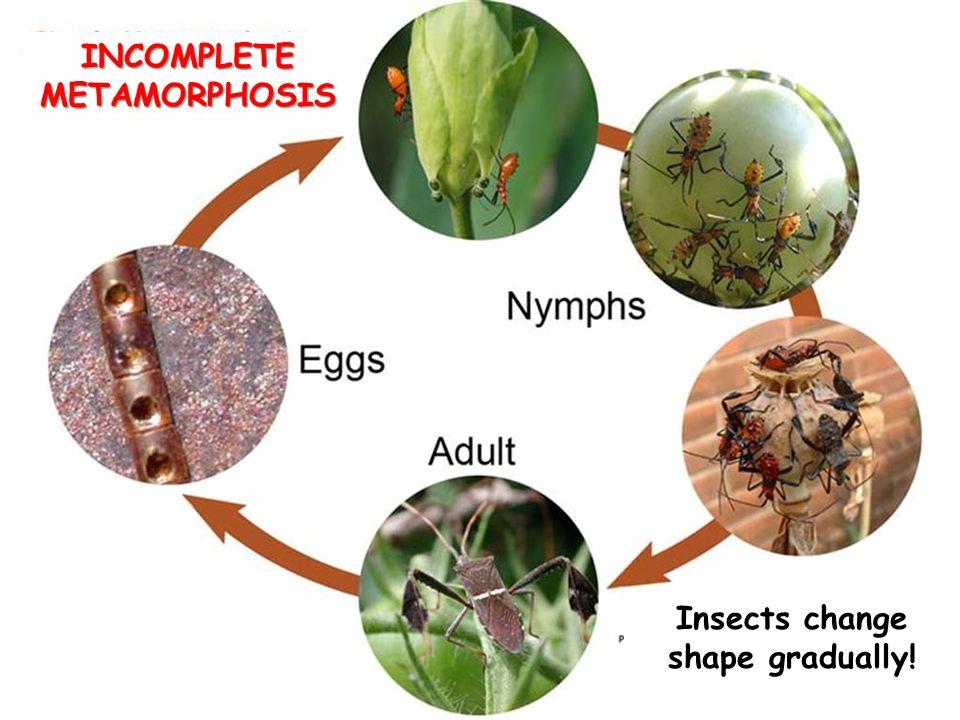 INCOMPLETE METAMORPHOSIS Insects change shape gradually!