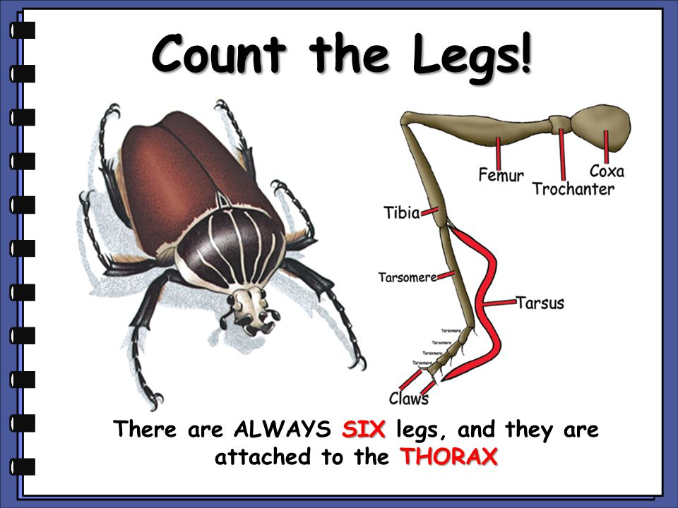 There are ALWAYS SIX legs, and they are attached to the THORAX