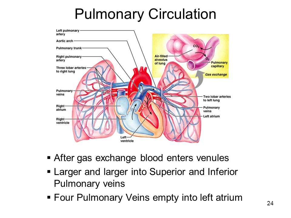 essay on pulmonary circulation The blood circulation is one of the 2014) bibliography boundless 2014 systemic and pulmonary circulation let us find you essays on topic blood circulation.