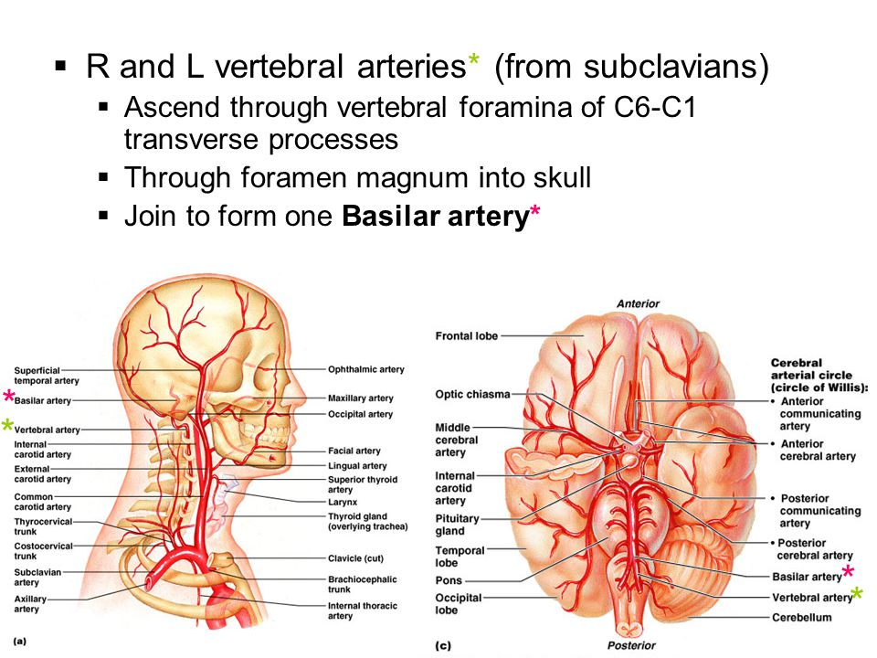 which vessels merge to form the basilar artery - Mersn.proforum.co