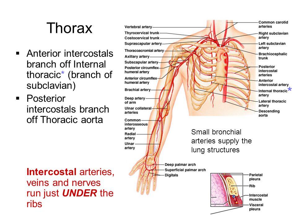 Thoracic diaphragm  Wikipedia