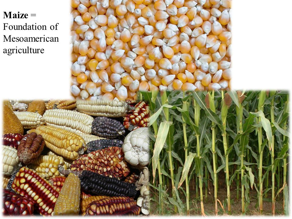 Maize = Foundation of Mesoamerican agriculture