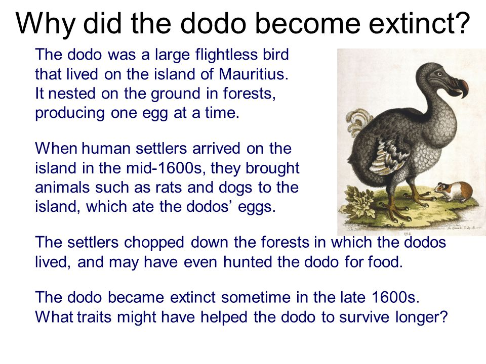 extinct species dodo bird A new pigeon species related to the extinct dodo bird has been found at a central otago fossil site near st bathans.
