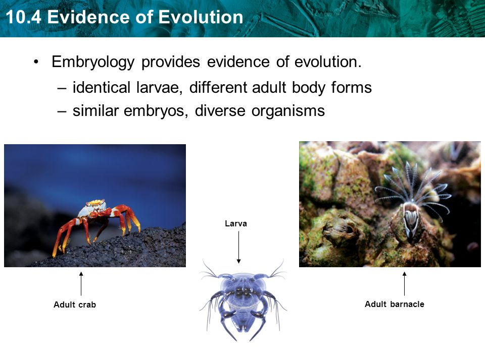 Embryology provides evidence of evolution.