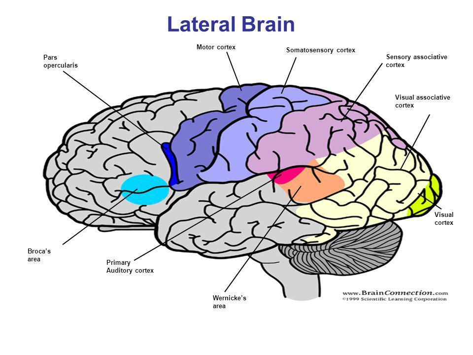 Lateral Brain Motor cortex Somatosensory cortex Pars
